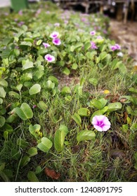 Beautiful pink morning glory flower (Ipomoea carnea) on the ground. Ipomoea carnea, the pink morning glory, is a species of morning glory. This plant has heart-shaped leaves that are a rich green.