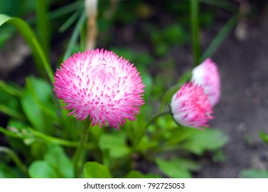 Beautiful pink natural garden flowers growing in spring day with bright light