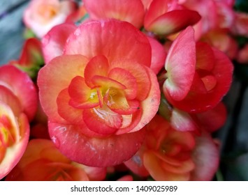 Beautiful pink and orange Begonia 'Carneval' flowers