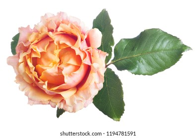 beautiful pink and orange color rose isolated on white background