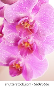 Beautiful pink Orchid drops of water in the flowers.