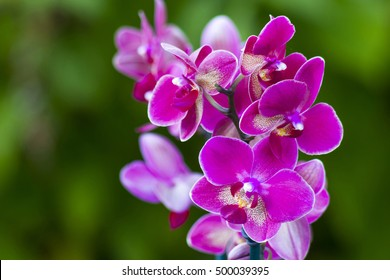 Beautiful pink orchid flowers- phalaenopsis