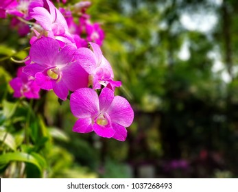 A beautiful pink orchid in the garden. Dendrobium is one of the largest of all orchid groups. Native to Southeast Asia, they are many popular dendrobium hybrid orchids in Thailand and The world.