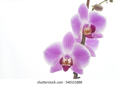 beautiful pink orchid on white background isolated