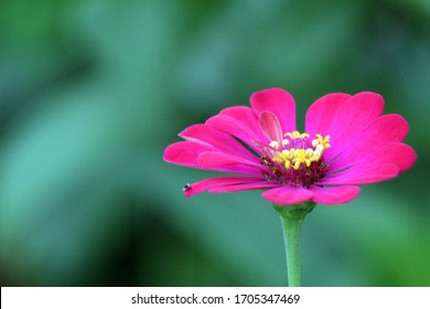 a beautiful pink paper flower, in perfect bloom in a fresh rainy season