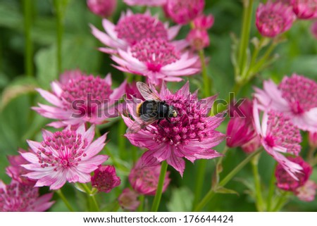 Beautiful pink paper like astrantia flowers stock photo edit now beautiful pink paper like astrantia flowers attract the bees mightylinksfo