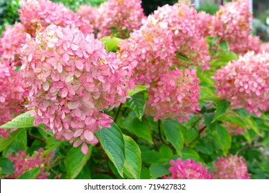 Beautiful pink pastel flowers of coloring Hydrangea Limelight Paniculata in closeup, autumn fall backgrounds