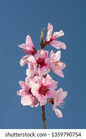 Beautiful pink Peach blooms contrasted against deep blue spring sky