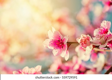 Beautiful pink peach flowers close up in a garden
