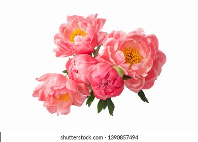 beautiful pink peonies flowers isolated on white background