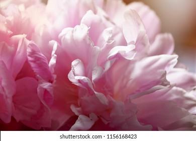 Beautiful pink peonies in the morning sun.