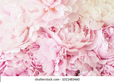 Peony images stock photos vectors shutterstock beautiful pink peony flower background mightylinksfo