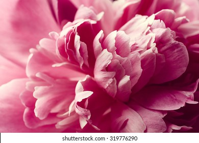 Beautiful pink peony flower close up