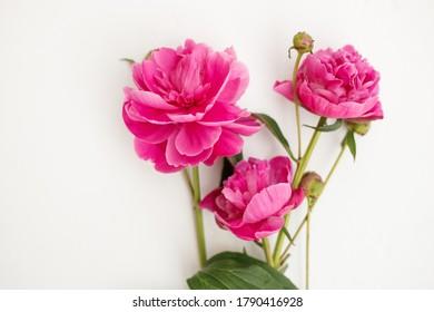 beautiful pink peony flowers plant