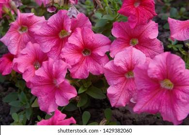 Beautiful pink petunia flowers (Petunia hybrida) in garden soft focus