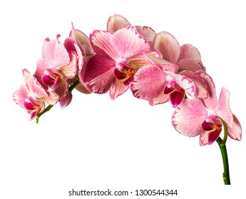 beautiful pink  phalaenopsis orchid flowers, isolated on white background