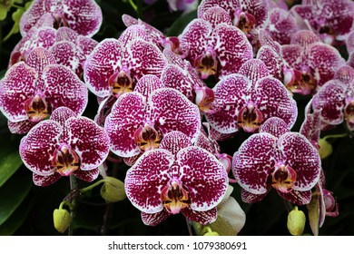 Beautiful pink phalaenopsis orchids at full bloom