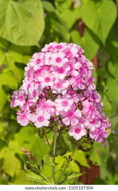 beautiful-pink-phlox-flowers-summer-600w