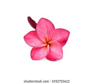 beautiful pink plumeria rubra flower isolated on White background