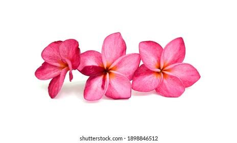beautiful pink plumeria rubra flowers isolated on White background