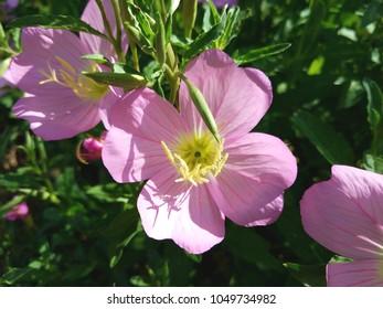 beautiful pink Primrose wildflowers, bathing in the early morning sunshine.