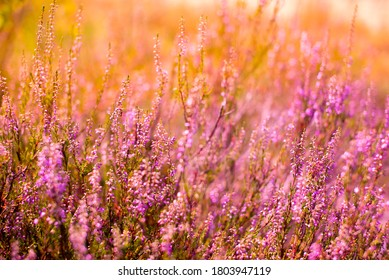 Beautiful pink purple heather or lavender growing in a meadow in yellow sunlight with a boke in the background