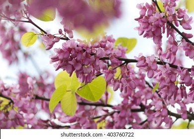 Beautiful pink purple Judas tree blossom branches with soft bokeh