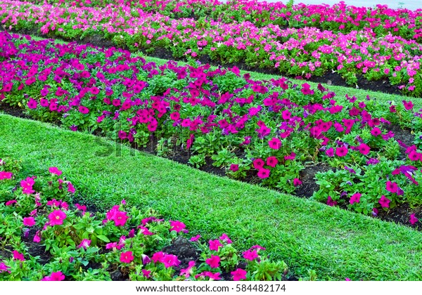 Beautiful Pink Purple Petunia On Flower Stock Photo Edit Now