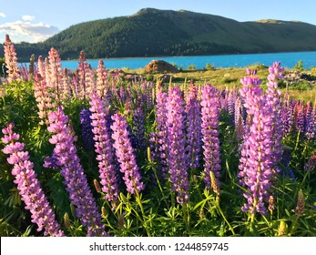 Beautiful pink purple white yellow lupins flower and lake mountain background in New Zealand lake Tekapo with green grass during sunset
