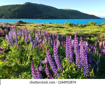 Beautiful pink purple white yellow lupins flower and lake mountain background in New Zealand lake Tekapo with green grass during sunset blurred background