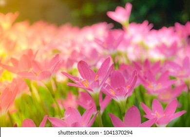 Beautiful pink Rain lily field,, Zephyranthes grandiflora, Selective focus.