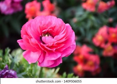 Beautiful Pink Ranunculus Flower at gayatri ashram in haridwar.