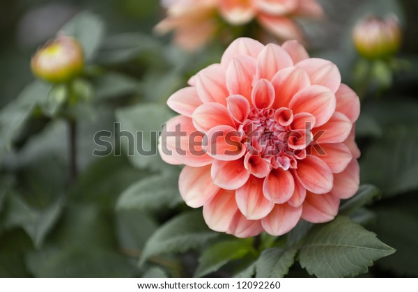 The beautiful pink and red dahlia flowers