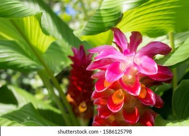 Beautiful Pink Red Flowers - Hidden Ginger Curcuma Plant
