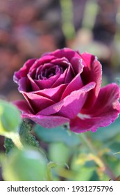 Beautiful pink red rose in bloom