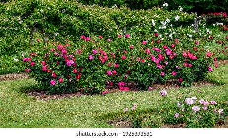 Beautiful pink and red rose flowers grow together in a green bush.  Rose garden on a sunny June day.