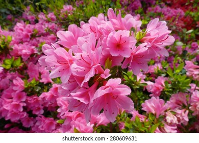 Beautiful pink rhododendrons