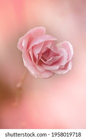 Beautiful pink rose after the rain - Shutterstock ID 1958019718