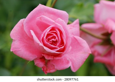 Beautiful pink rose against green background
