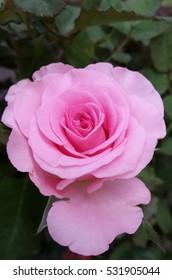 Beautiful pink rose blooms in garden.