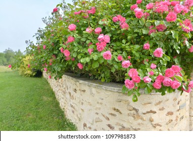 beautiful pink rose bush blooming abose a low wall of a garden