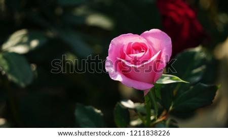Beautiful Pink Rose Flower Garden Floral Stock Photo Edit Now