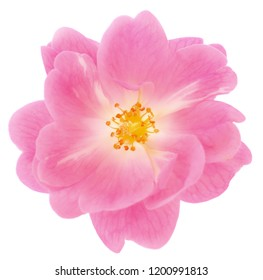 Beautiful pink rose flower isolated on white background.