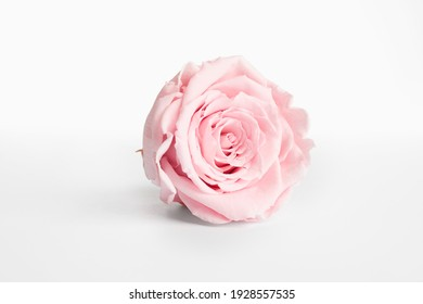 Beautiful pink rose flower isolated on white