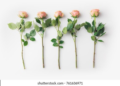 beautiful pink rose flowers with stems placed in a row isolated on white