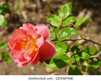 Beautiful pink rose in full bloom in Fu Xing Park in Shanghai in the bright sunshine