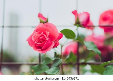 Beautiful pink rose in garden