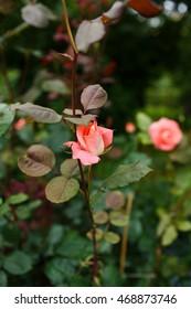 Beautiful pink rose in a garden - Shutterstock ID 468873746