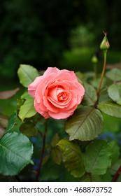 Beautiful pink rose in a garden - Shutterstock ID 468873752