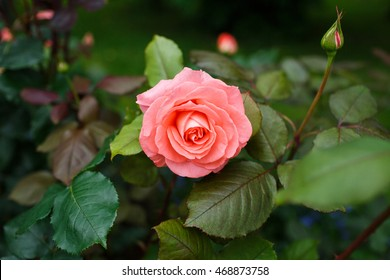 Beautiful pink rose in a garden - Shutterstock ID 468873758